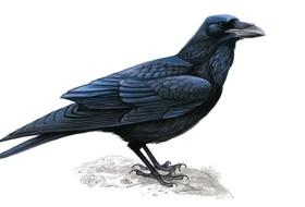 raven_tcm9-17749
